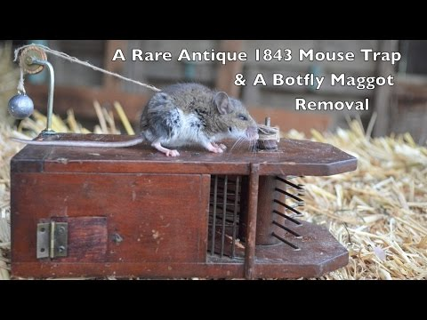 Rare Antique 1843 Mouse Trap In Action & Removing a Botfly Maggot From a Live Mouse