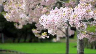 松島・福浦島のオオシマザクラ-1080p