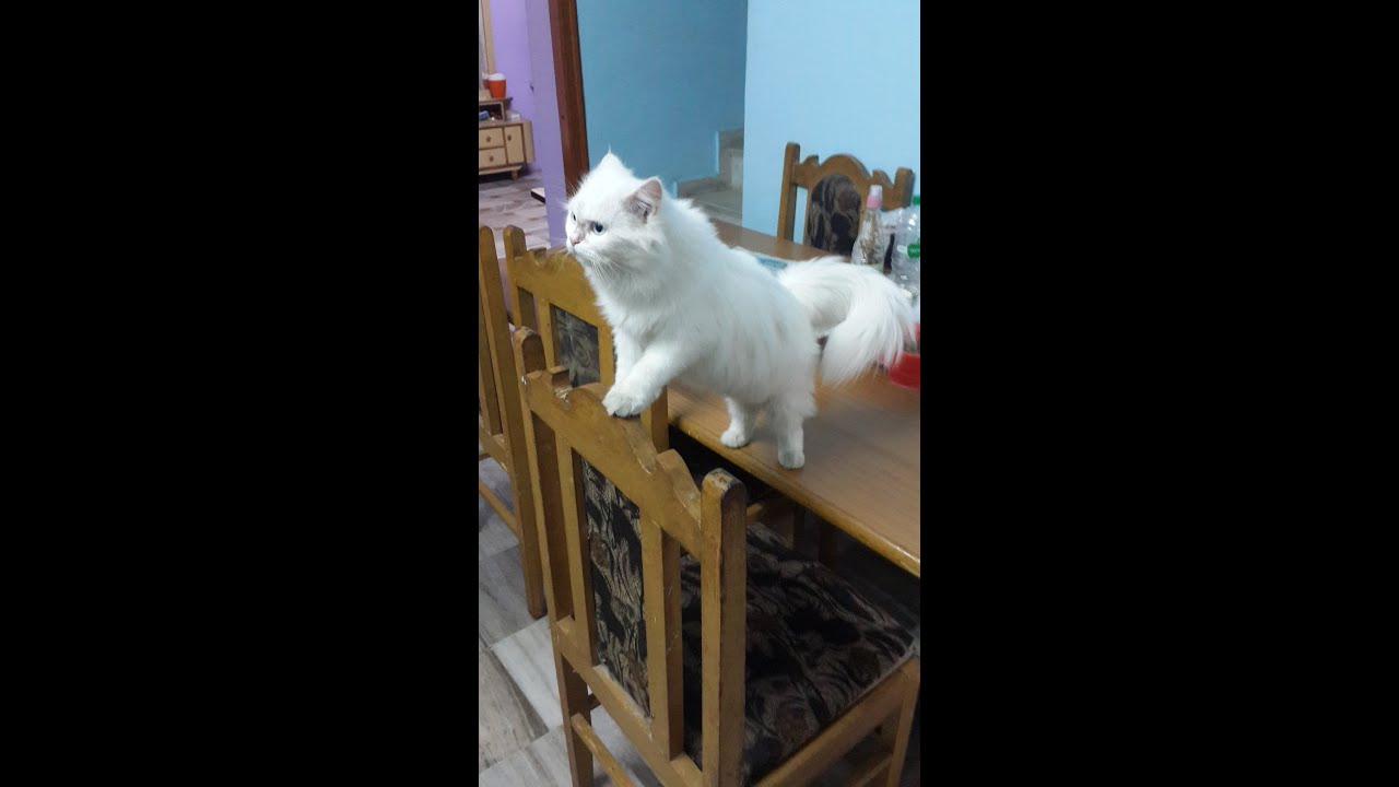 Russian White cat intelligent cat see video