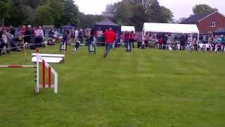 Maggie In The Agility Display @ Rspca Millbrook Fun Dog Show