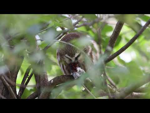 2018-12-06  Northern Saw-whet Owl
