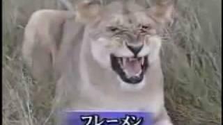 衝撃!!我が子を食べる母猫.mpg のライオン版です。 あのショッキング...