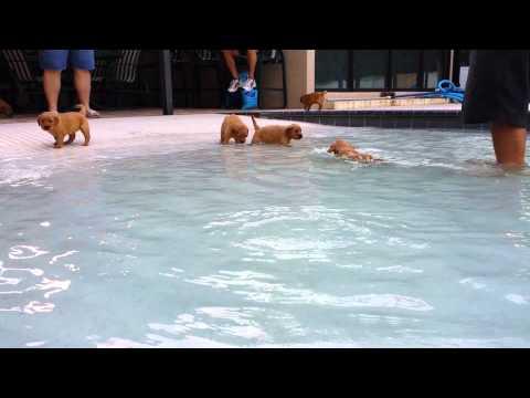 Golden Retriever Puppies in the pool