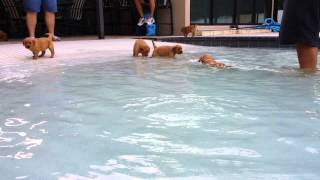 Golden Retriever Puppies In The Pool