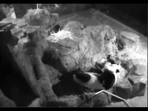 Bao Bao won't let Mei sleep.   Oct 24, 2014    National Zoo