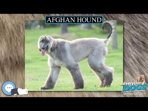 Afghan Hound 🐶🐾 Everything Dogs 🐾🐶