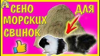 Все о Морских Свинках/как Выбрать Сено для Свинок? Правильно! Морская Свинка/Алиса. как Выбрать Морскую