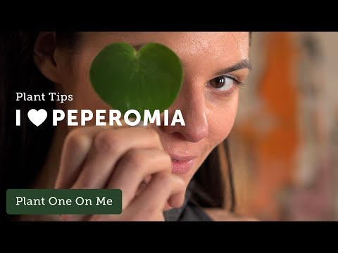 Ep 096.  Peperomia Care Tips