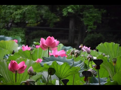 The Story Of The Magical Lotus Flower Youtube