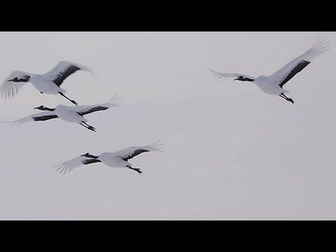 タンチョウの飛翔 Japanese Crane Flight ( Shot on RED EPIC High-speed )