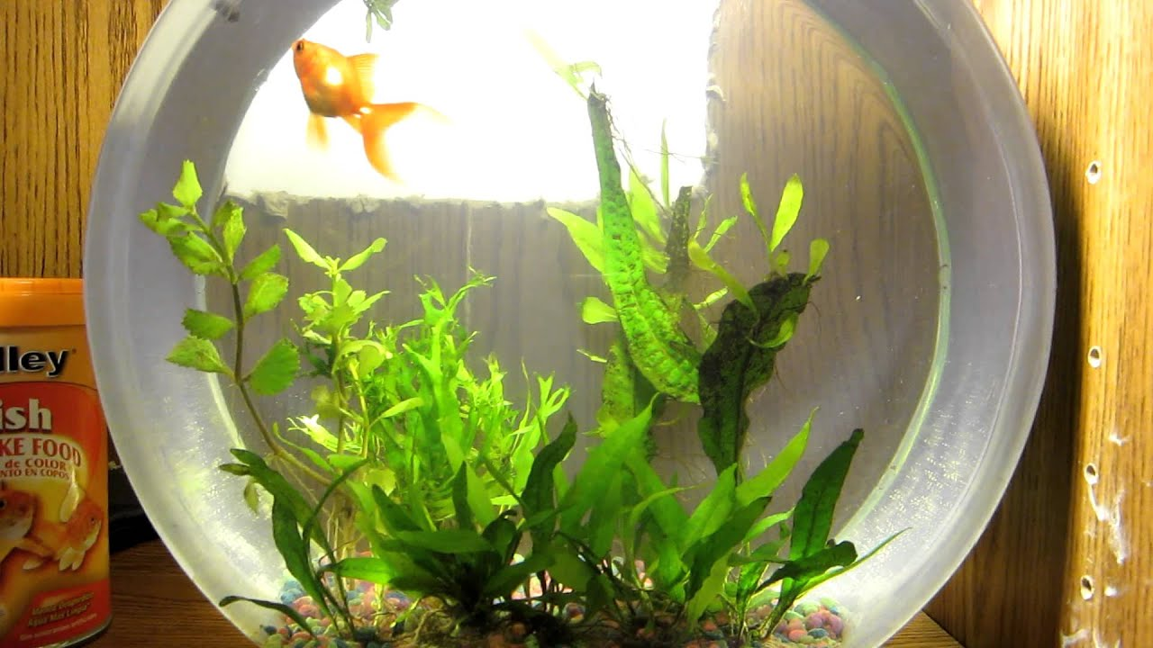 Goldfish bowl live plants 2 5 gallon youtube for How to make a fish bowl