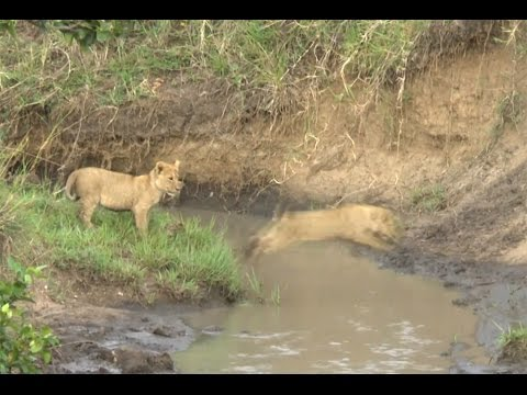 Scaredy Cats: Cute lion cubs scared to jump stream