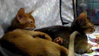 😍 Милейшие Абиссинские Котята 🐱 такие Маленькие и Очень Классные | ПОРОДЫ КОШЕК