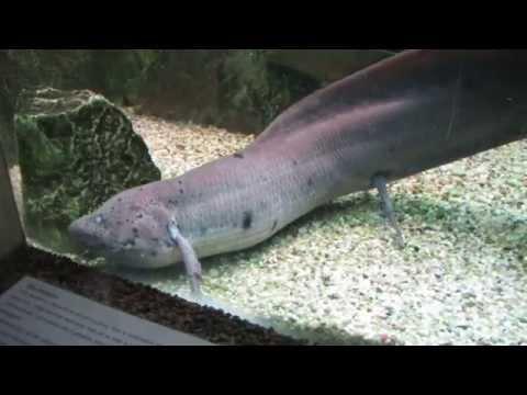 Lungfish - Dipnoi