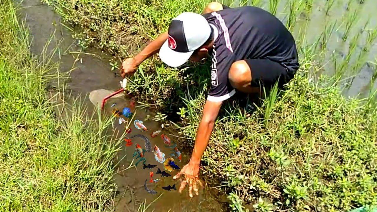 catch betta fish guppies molly fish crab goldfish comet fish cat fish koi fish fishing videos