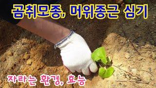 곰취, 머위 심기. 재배환경 및 효능