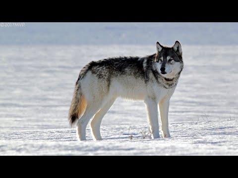 Wildlife Photography-WILDLIFE in WINTER-Jackson Hole/Grand Teton Park/Yellowstone-Snow-Grizzly-Best