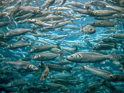 The DFO Has Suspended This Year's Herring Kill Fishery . Suspender La Matanza De Arenque
