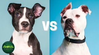Pitbull Vs American Bulldog Differences  Which Dog Is Right For You?