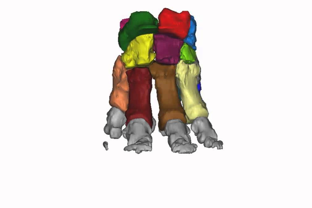 Elephant foot bone anatomy - YouTube