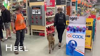 """6 Year Old Aggressive Boxer """"Zeppelin"""" 