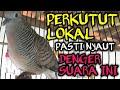 Perkutut Lokal Pasti Nyaut Denger Suara Ini Suara Burung Perkutut Lokal  Mp3 - Mp4 Download