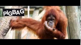PigBag - Orangutango - 1981