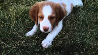 funny brittany puppies