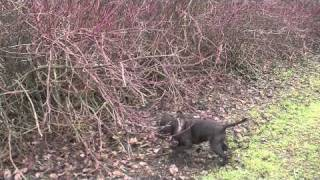 Staffordshire Bull Terriers Rabbit Hunting Fail!