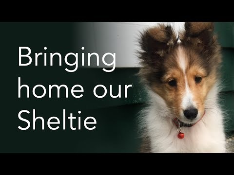 Bringing Home Our Sheltie Puppy