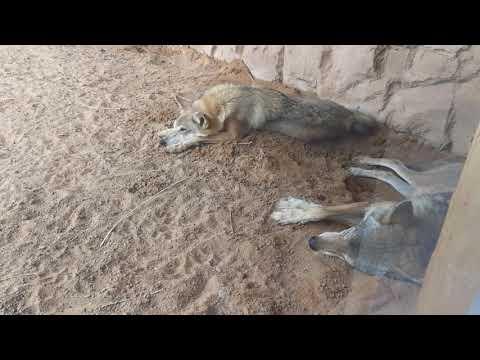 Arabian Wolf at Arabia's Wildlife Centre Sharjah 28.04.2018