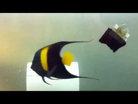 Asfur Angelfish in Quarantine