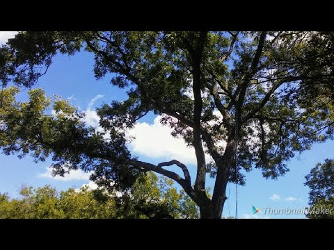 TRIMMING A BIG PECAN TREE