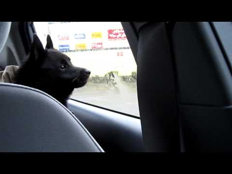 Bob the Schipperke, 8 mos, barks at the reflection of traffic in windows.