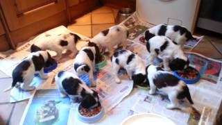 Trowley Hill Springer Spaniels Abi's Puppies Feeding Time!