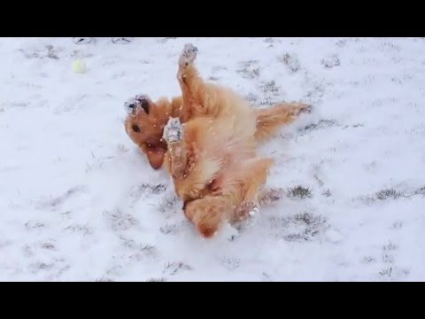 Dogs Making Snow Angels Compilation