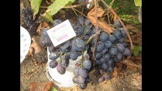 Выращивание южного сорта винограда на северo-востоке Европы. Сорт Хаджи Мурат.