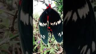 butterfly-kannada