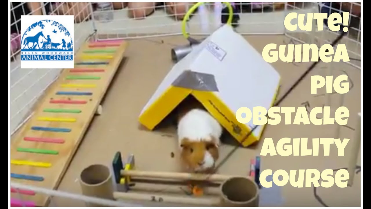 Cute Guinea Pig Agility Obstacle Course Youtube