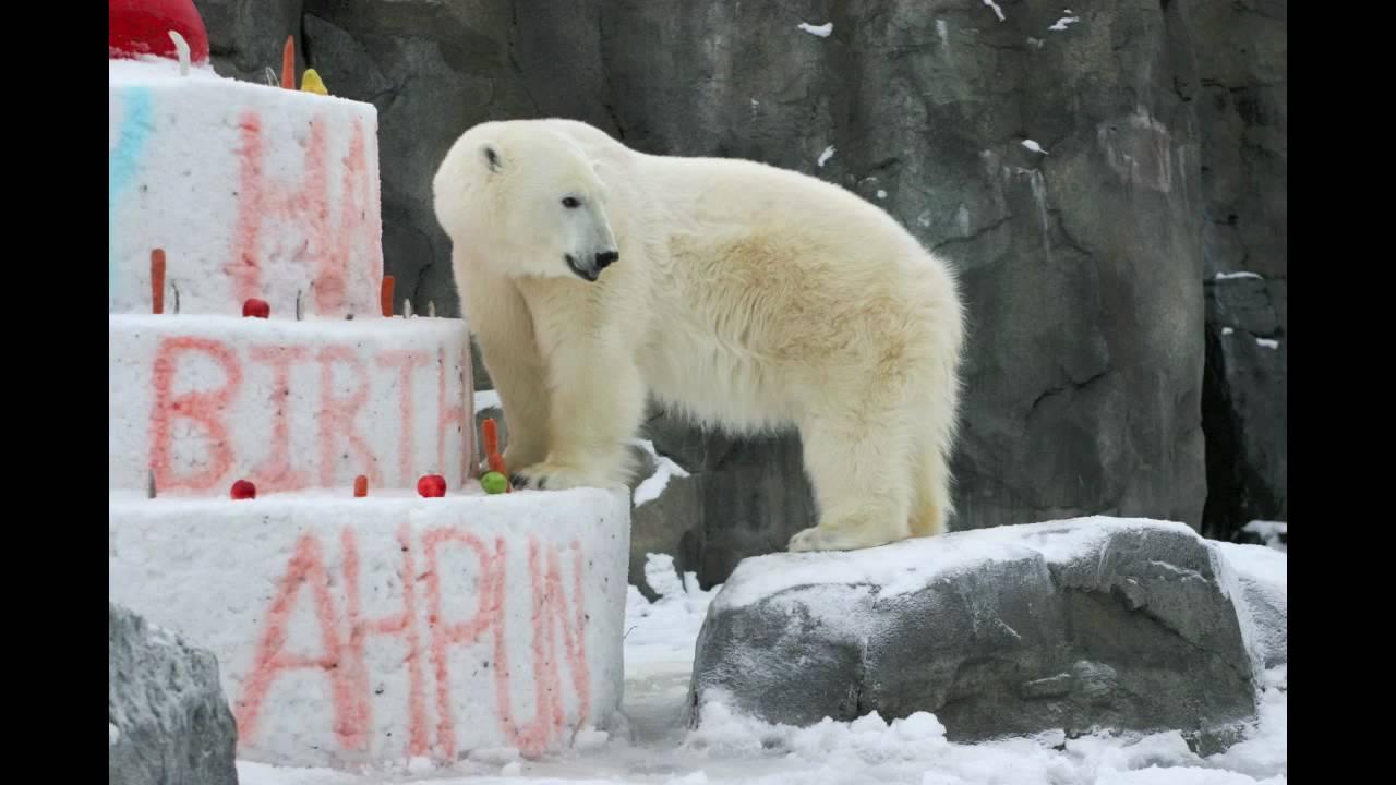 Polar Bear Birthday Celebration Youtube