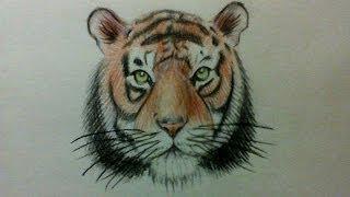tiger face easy drawing pencil draw simple step pencils animals paintings watercolor getdrawings roar