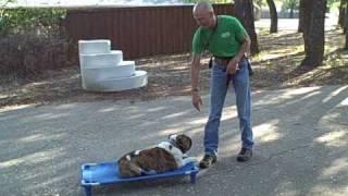 East Texas Dog Training   Redeeming Dogs   Boudreaux - English Bulldog