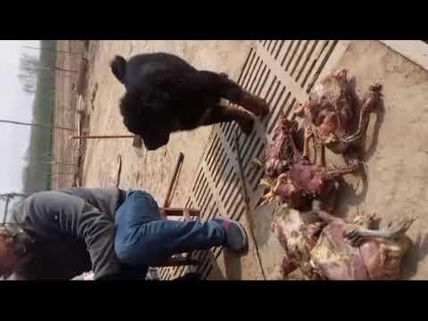 Tibetan Mastiff Puppies Fight For Food | CHINESE TIBETAN MASTIFF |