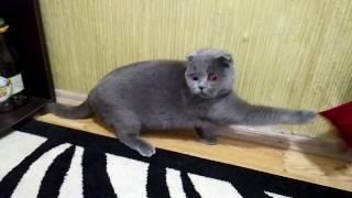 Невеста кота.Шотландская кошка.Вислоухая.Короткошёрстная.