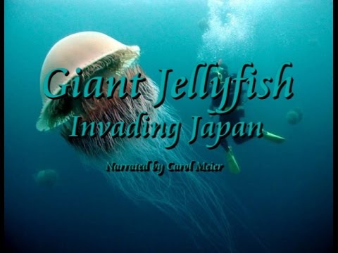 Giant Jellyfish Invading Japan