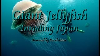 Giant Jellyfish Invading Japan - Female VOICE OF Nature/Wildlife Narrator - SUBTITLED