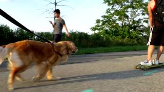 Golden Retriever: Walking Vs Sprinting - Different Types Of Cellular Respiration