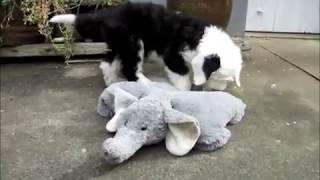 Old English Sheepdog  Puppy Aurora is fighting an elephant