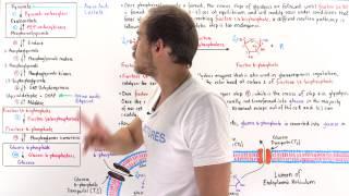 Gluconeogenesis (Steps 3-10) - Part II