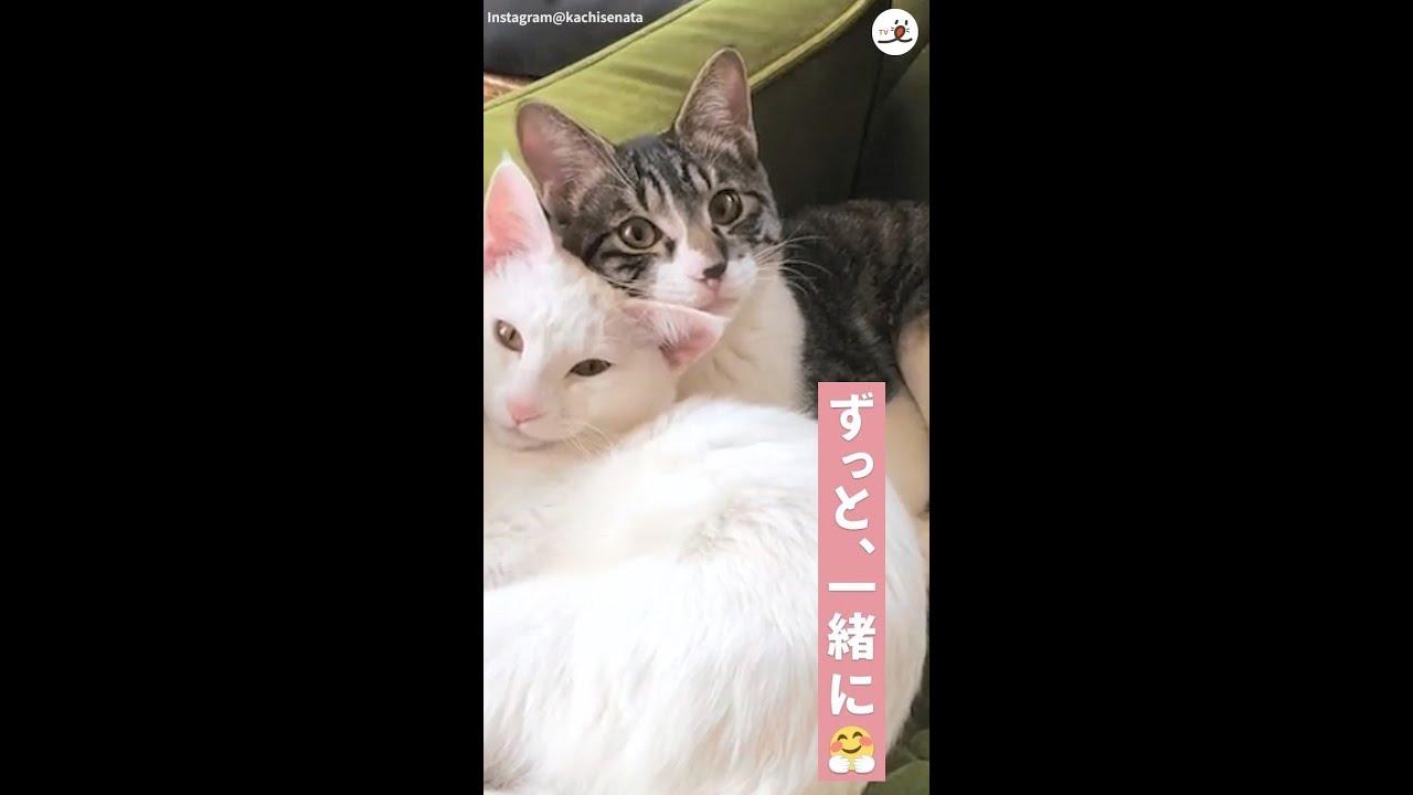 【おてんば姉と、まったり弟♪】性格は正反対だけど心は一緒。保護猫だった姉弟ネコの、深い絆に…キュン♡ #Shorts